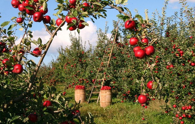sklizeň ovoce