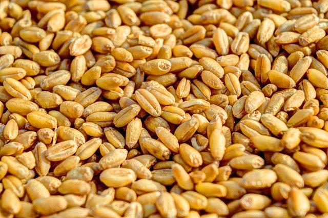 semena, pšenice
