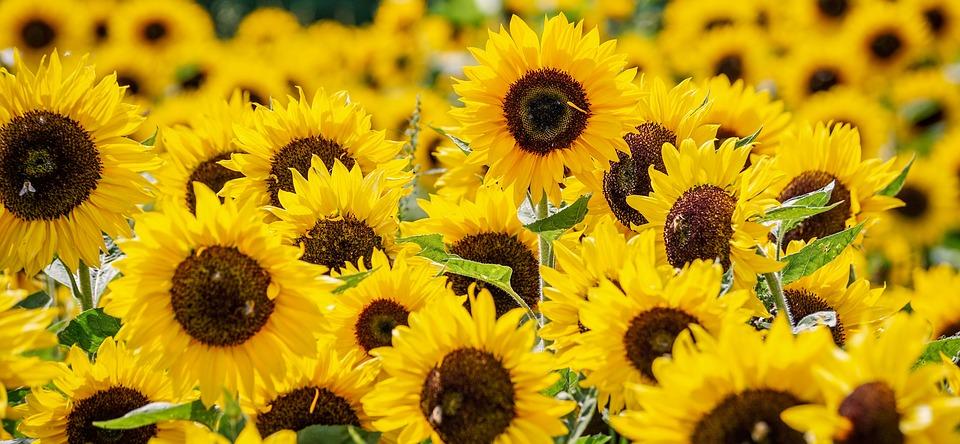kvetoucí slunečnice